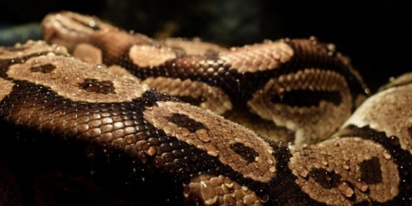 El cuero de serpiente ¿Por qué es tan resistente?